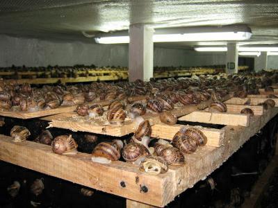 Hodowla ślimaków