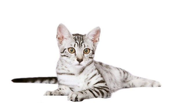 Fantastyczny Kot Egipski Mau Cena Oob96 Usafrica